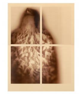 Ann Hamilton, Peregrine Falcon (Sepia), 2017
